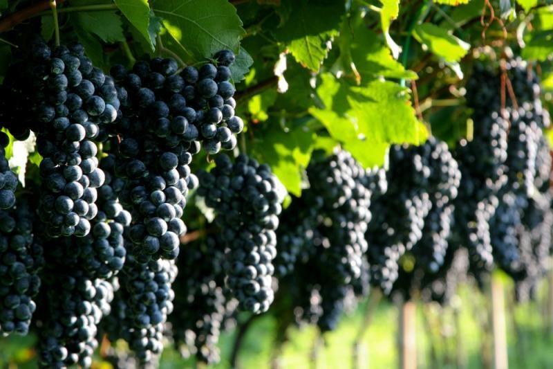 Kultūros paveldo sąraše – ir vynuogynai