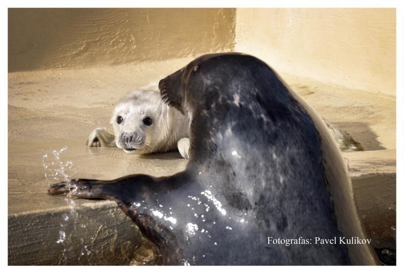 Ruonės vaikavimosi Jūrų muziejuje laukta su nerimu
