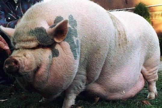 Amerikoje ūkininką suėdė jo paties kiaulės