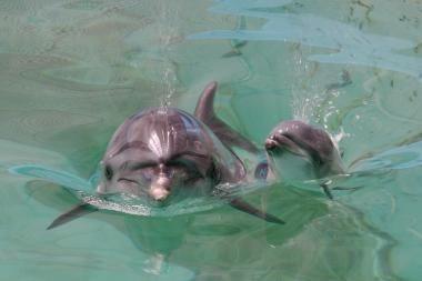 Klaipėdos delfinams – sanatorija Graikijoje (papildyta)