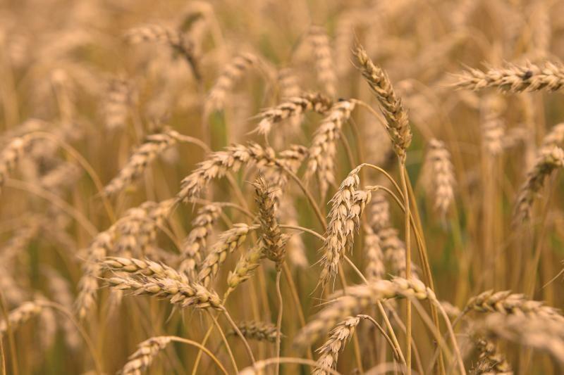Grūdų augintojai sprunka nuo perpardavinėtojų