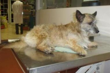 Nugaišęs šuo Pipiras bus palaidotas netoli Žagarės