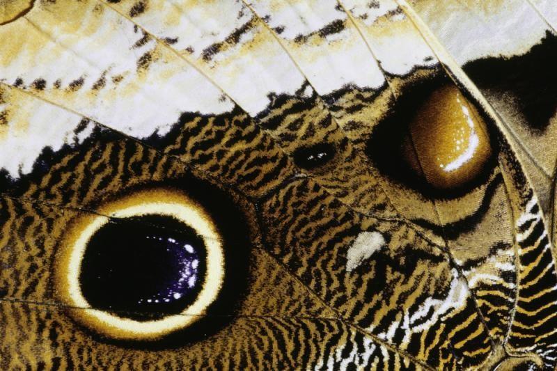 Mokslininkai: dėl Fukušimos avarijos mutavo     drugeliai