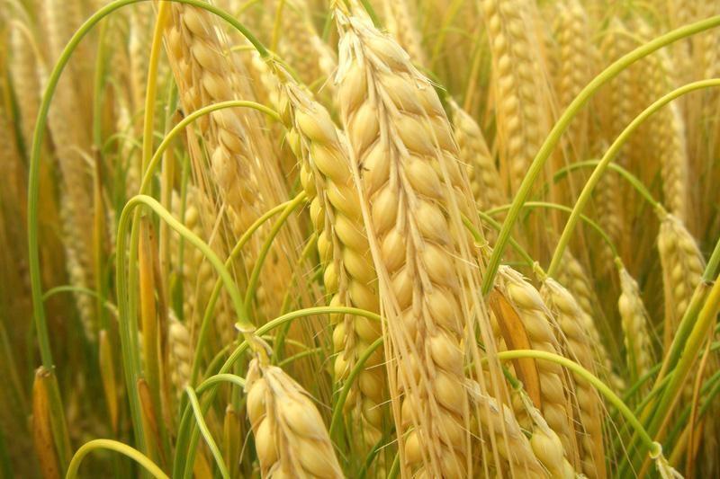 Iš rekordinio grūdų derliaus Lietuva eksportuos 2,5 mln. tonų
