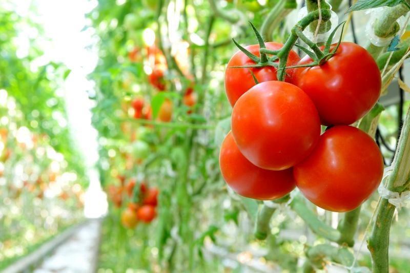 Ką verta žinoti apie pomidorų daigelius