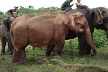 Mianmare sugautas retas baltas dramblys