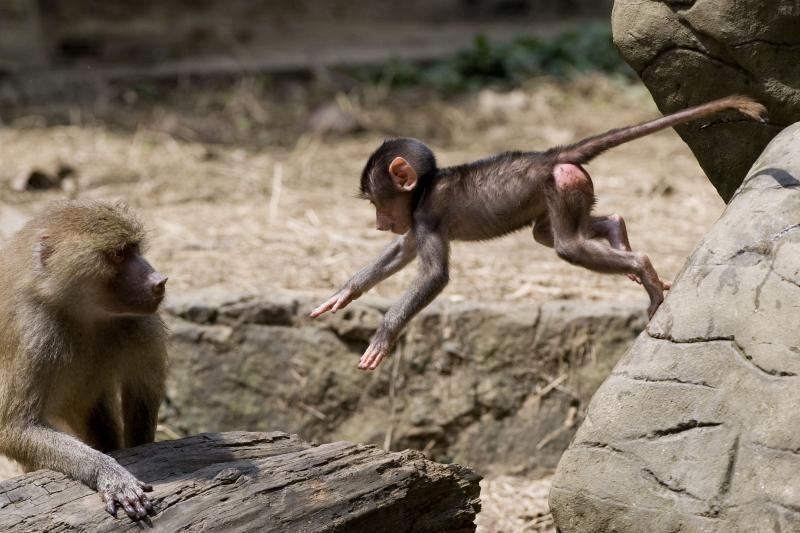 Pabėgusią beždžionėlę vilioja mažylio beždžioniuko garsų įrašais