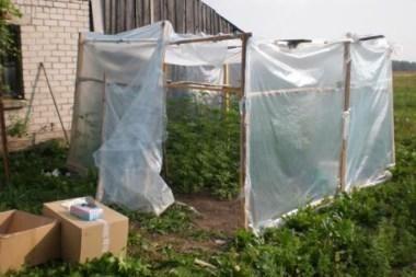 Kretingos r. šiltnamyje augintos kanapės