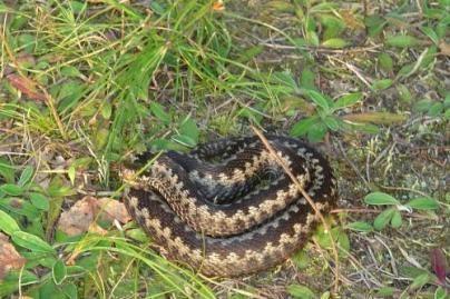 Kariui įgėlė gyvatė