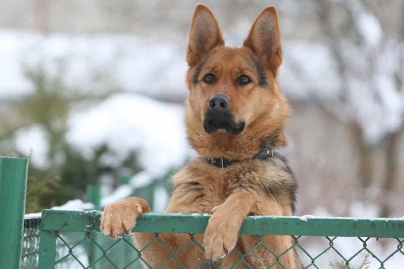 Nuo pasiutusio afganų šuns įkandimo mirė JAV karys