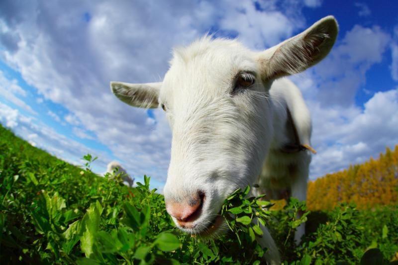 Australijos teismas pripažino nekaltu gėlyną Sidnėjuje nuniokojusį ožį