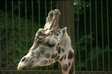Lietuvos orakulas - žirafa Gudrutis