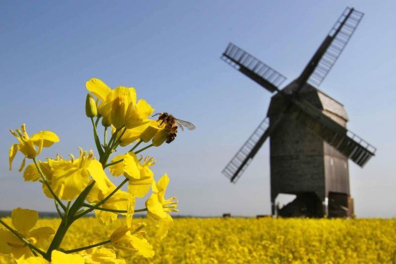 Rapsų derlius – su GMO, kas augino – neaišku