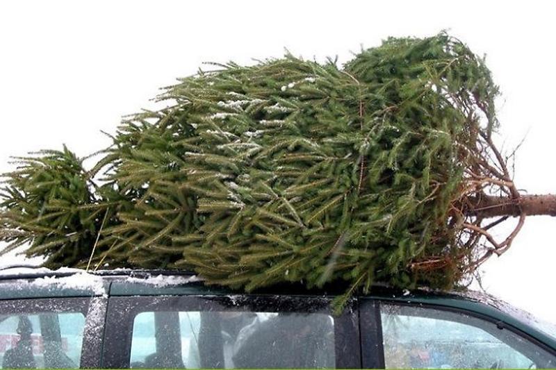 Kiek šiais metais kainuoja Kalėdų eglutės?