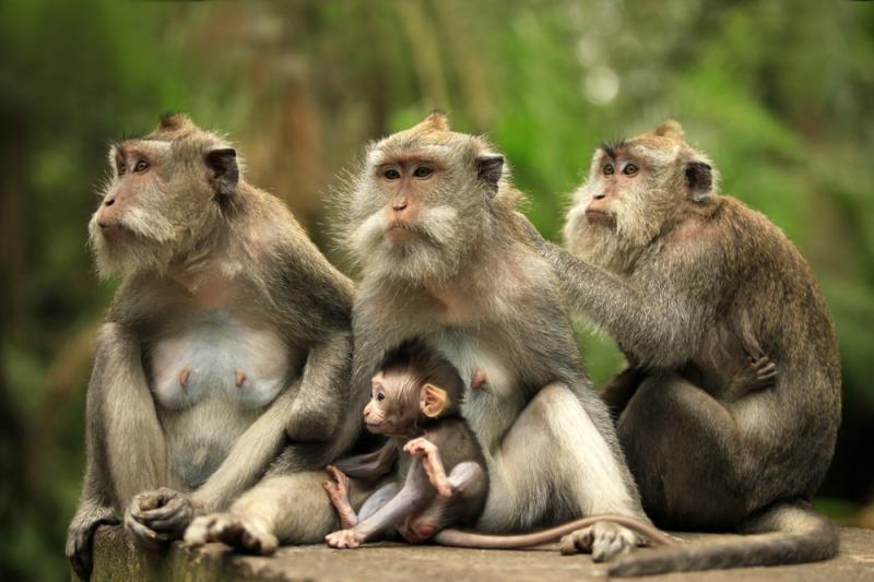 Mokslininkai: beždžionės seksui taip pat trokšta privatumo