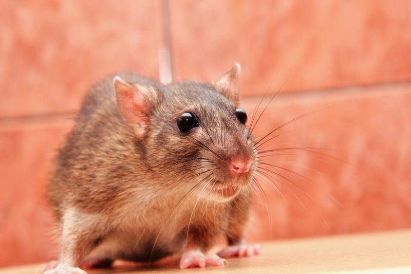 Specialistai: lenkiški saldumynai iš tiesų užteršti žiurknuodžiais