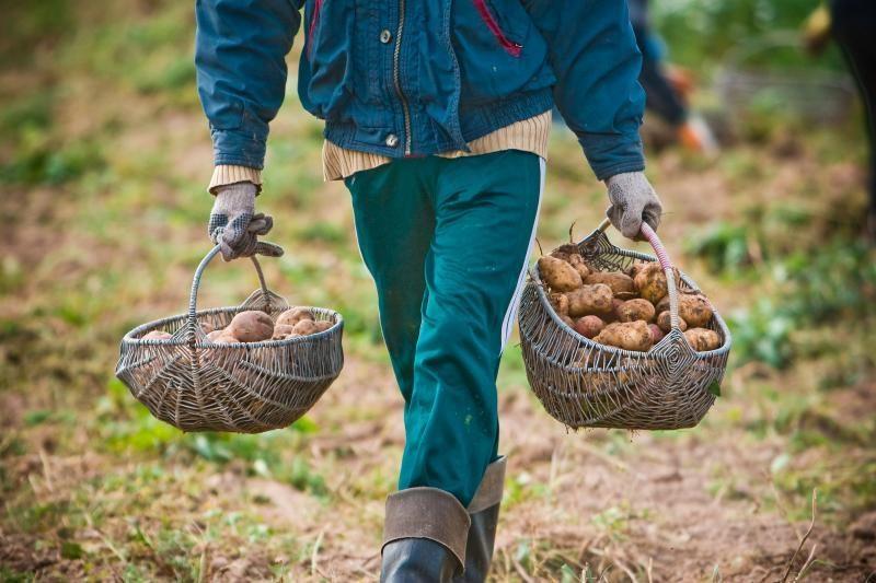 Lietuvoje vasarį labiausiai brango varškė, smarkiausiai pigo bulvės