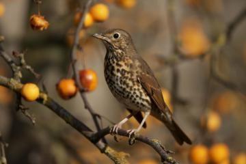 Kipro gyventojų skanėstas – migruojantys paukščiai