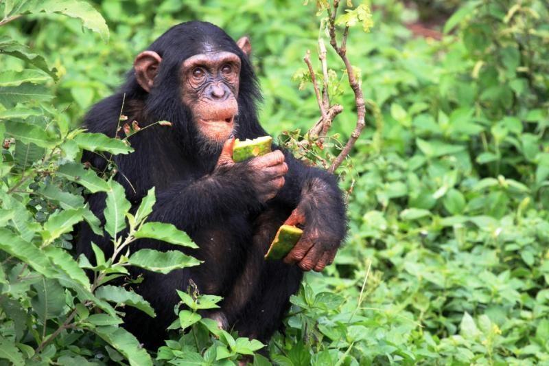Pietų Afrikoje sužeistas šimpanzių užpultas amerikietis doktorantas
