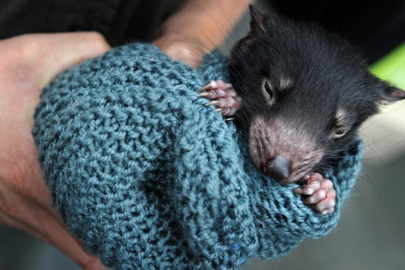Australijoje pasaulį išvydo 40 Tasmanijos velniukų (foto)