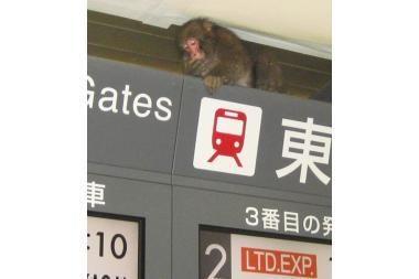 Dėl makakos Tokijuje kilo sąmyšis