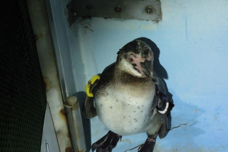 Japonijos pingvinas bėglys surastas ir grąžintas į akvariumą