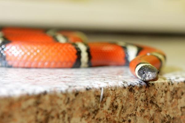 Australija: voras pusryčiams pasirinko gyvatę