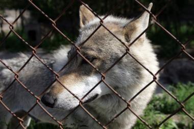Sumedžiojus 40 vilkų, nutraukiama šių gyvūnų medžioklė