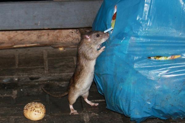 Britanijoje plinta nuodams atsparios žiurkės
