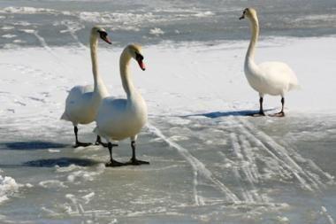 Iš ledo vadavo gulbę