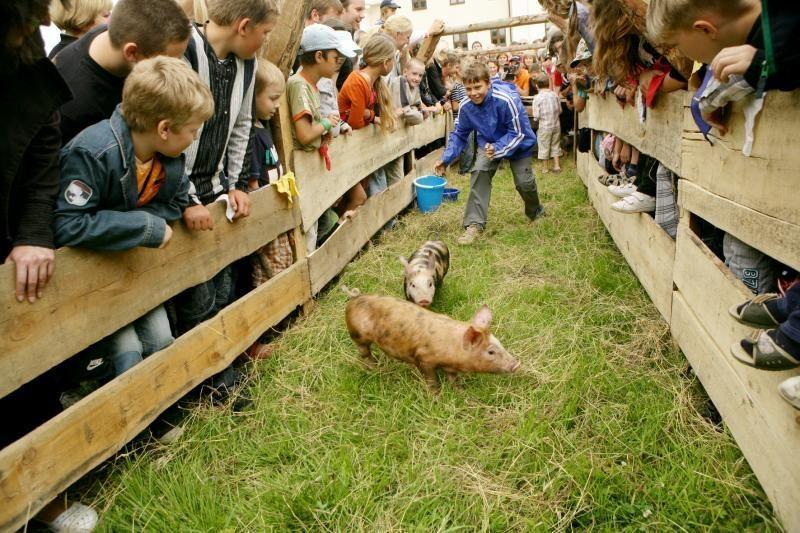 Paršelių bėgimo čempionas atiteks geriausiam Lietuvos kiauliaganiui