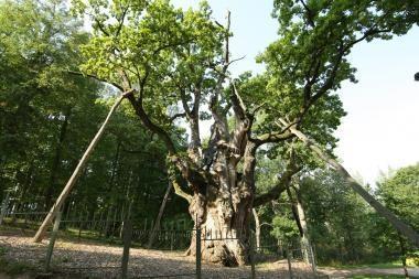 Kvies aplankyti Stelmužės ąžuolo