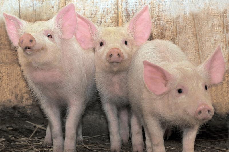 """""""Gyvulių ūkio"""" tiesa: genetiškai kiaulė išties labai artima žmogui"""