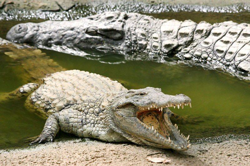 Australijoje dingusi septynmetė veikiausiai tapo krokodilo auka