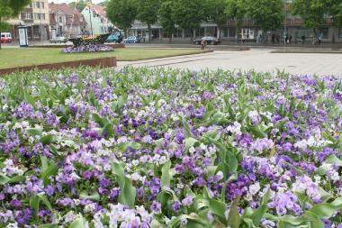 Klaipėdos gėlynai - ilgapirščių grobis