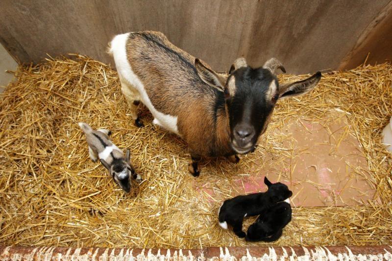 Ožka Gražkė ir ožys Smirdukas susilaukė net trijų mažylių