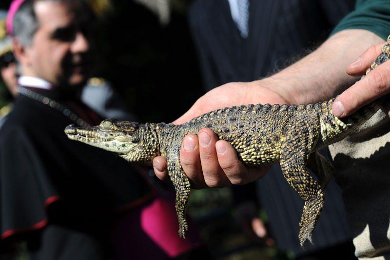Kubos krokodilas keliaus su popiežiumi Benediktu XVI