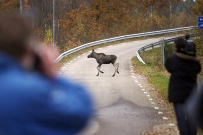 Krašto keliuose pavojingiausi gyvūnai