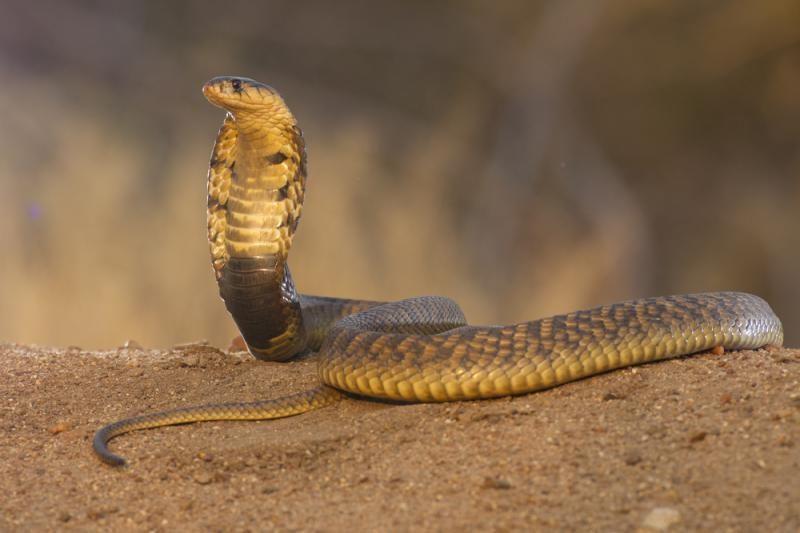 Gyvūnų kovos: kobra prieš mangustą, kas laimės?