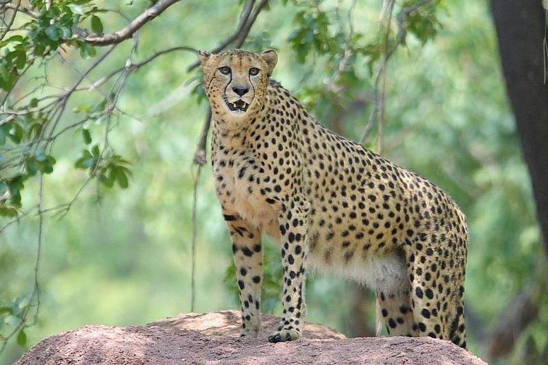 11 metų gepardo patelė pagerino pasaulio sausumos bėgimo rekordą