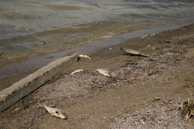 Kuršių mariose – dūsta žuvys