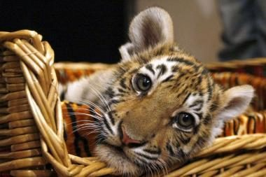 V.Putinas gimtadienio proga gavo tigriuką