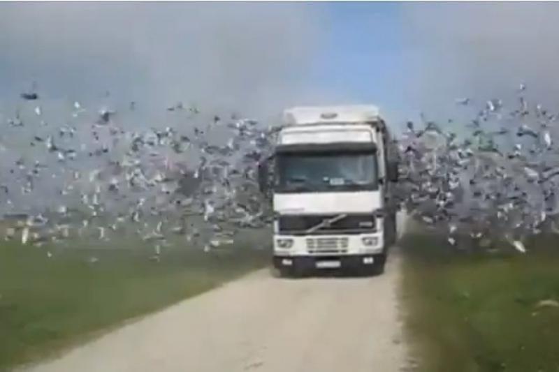 Įspūdinga: iš sunkvežimio paleidžiami tūkstančiai paukščių