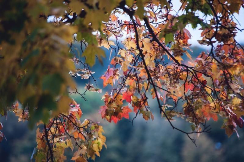 Kodėl rudenį medžių lapai keičia spalvas?