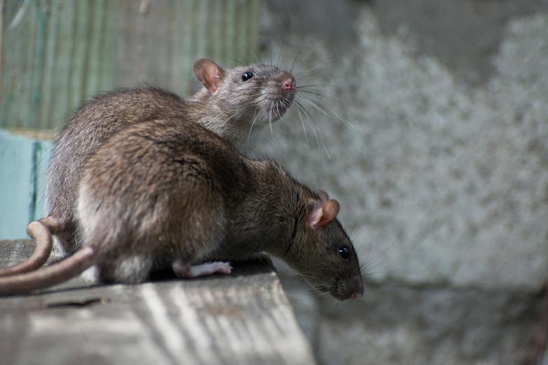 Žiurknuodžiais užterštų saldumynų Lietuvoje neaptikta