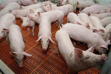 Gyventojus kiršina gyvulių išmatų dvokas