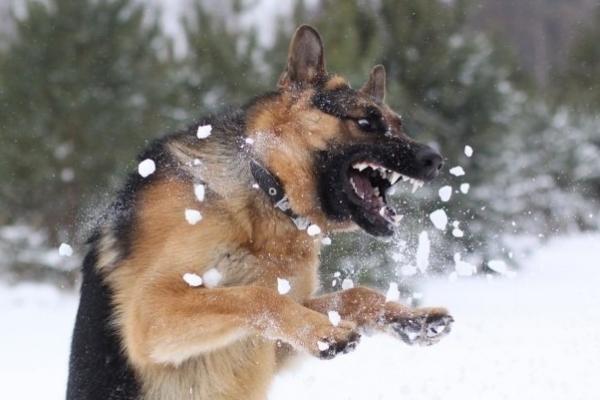 Keturkojį nuo kito šuns gynusi moteris - stipriai sukandžiota (papildyta)