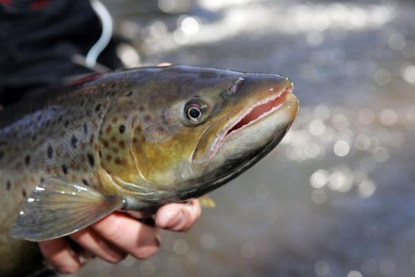 Kodėl žvejai randa lašišas - mutantes?