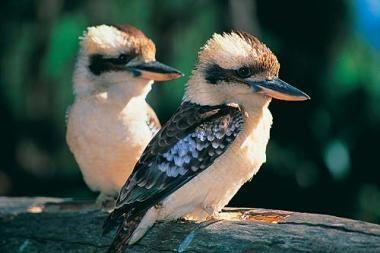 Nutukęs paukštis meta svorį Sidnėjaus zoologijos sode