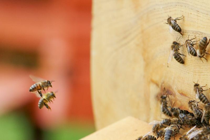 Austrijoje nykstančioms bitėms siūlomas prašmatnus miesto gyvenimas